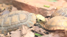 The turtles eating food. Macro close up stock footage