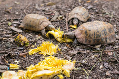 Turtles are eating food Stock Images