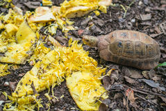 Turtles are eating food Royalty Free Stock Photos