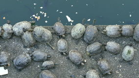 Turtles eating and resting next to koi pond stock video footage