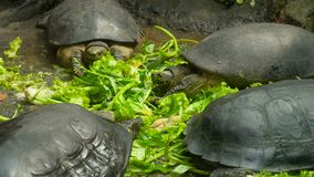 Turtles eating vegetables. Big turtles in Asia eating vegetables on the ground stock video