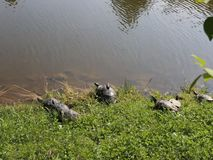 Turtles. On the edge of the lake in sunlight stock video