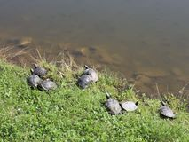 Turtles. On the edge of the lake in sunlight stock footage