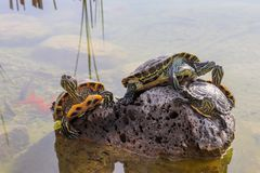 Turtles emerging on the rock in water. Turtles are diapsids of the order Testudines or Chelonii characterized by a special bony or cartilaginous shell royalty free stock images