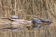 Turtles Royalty Free Stock Photography