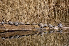 Turtles Stock Images