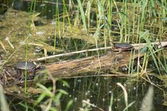 Turtles facing at Lac Fauvel, Blainville, Quebec Royalty Free Stock Photo