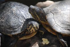 Turtles falling in love. The spring in Spain. sunny. the turtles are falling in loven royalty free stock photos