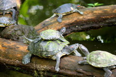 Turtles family. Turtle parents and a turtle baby on a log Royalty Free Stock Photos