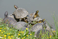 Turtles family Royalty Free Stock Image