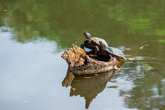 Turtles Family. 2 turtles resting on the wood, another 1 swimming in the lake Royalty Free Stock Images