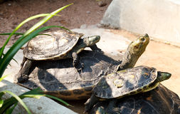 Turtles family sunbathing. On the rock Royalty Free Stock Photos