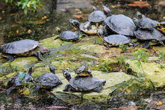 Turtles family taking sun together. Stock Photos