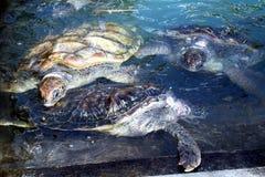 Turtles farm Stock Images