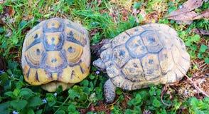 Turtles Royalty Free Stock Photo