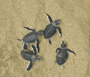 Turtles give birth Stock Photos