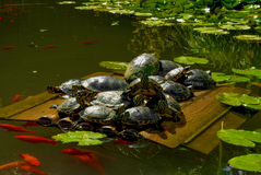 Turtles Royalty Free Stock Image