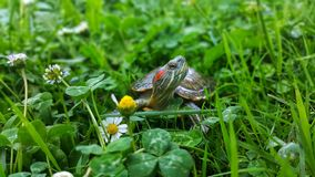 Turtles in the grass stock images