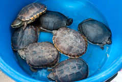 Turtles. Group of turtles in basin Stock Image