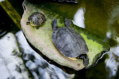 Turtles. Group of turtles in the pond Royalty Free Stock Photography