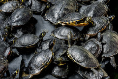 Turtles. Group of turtles in the pond Royalty Free Stock Photo
