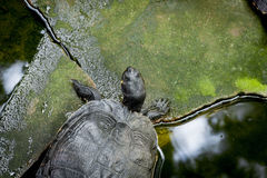 Turtles. Group of turtles in the pond Stock Images