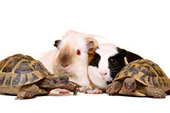 Turtles and guinea pigs Stock Image