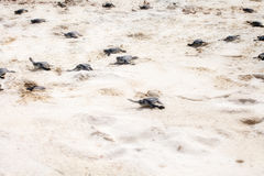 Turtles hatched from eggs Royalty Free Stock Photography