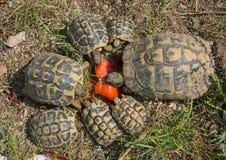 Turtles hermann feeding Royalty Free Stock Image