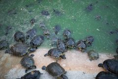 Turtles inside a pond stock image