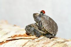 Turtles and ladybug Royalty Free Stock Image