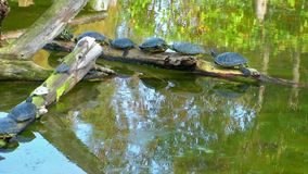 Turtles on the Lake stock footage