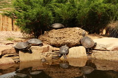 Turtles in the lake in the park. Nature Feldman Ecopark Kharkiv Royalty Free Stock Photo