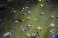 Turtles in lake Royalty Free Stock Photography