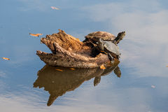 Turtles on lake with sky reflection. Turtles resting on wood in a lake with sky reflection Stock Photos