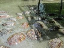 Turtles in the lake are swimming in a large group. A flock of turtles in the pond royalty free stock photo