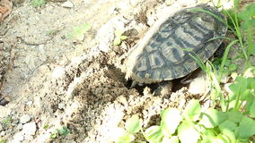 Turtles lay their eggs in the sand stock video footage