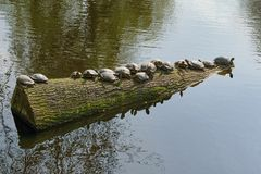 Log with turtles in a reservoir. royalty free stock photography