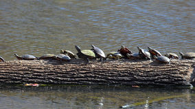 Turtles in a line - 2. Turtles in a line, southern illinois. Canon 20D Stock Photo