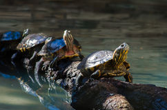 Turtles in line. A group of four turtles resting in a trunk, forming a line Stock Photo