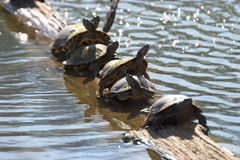 Turtles in a line. Southern illinois. Canon 20D Royalty Free Stock Photos