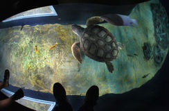 Turtles in the Lisbon oceanarium Royalty Free Stock Images