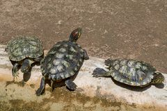 Turtles living with sun bathing. 3 Turtles living and take sun bathing in sunshine day Royalty Free Stock Images