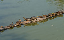 Turtles on a log Royalty Free Stock Image