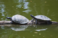 Turtles on a Log. 2 turtles resting on a log at the honolulu zoo stock image