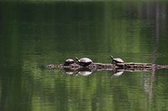 Turtles on a Log Stock Image