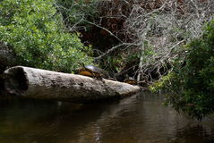 Turtles on log. Two turtles sitting on a log royalty free stock images