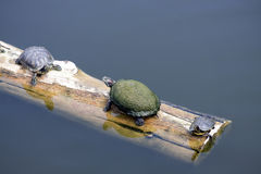 Turtles On A Log. Various species of turtles sun themselves on floating log Royalty Free Stock Photos