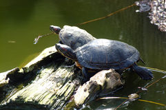 Turtles on log. Elevated view of two turtles resting on log with green water background royalty free stock images