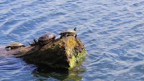 Turtle group sunning on a log. Turtles on log on the blue water of lake Washington in pacific northwest spring day stock video footage
